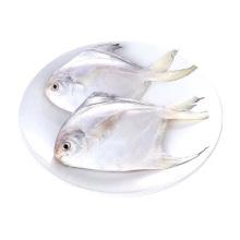 野生银鲳鱼5斤(5-6条/斤) 鲜活海鲜冷冻深海白鲳鱼新鲜水产平鱼镜鱼海鱼扁鱼 [5斤]